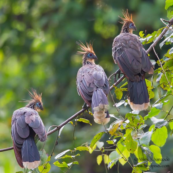 Hoatzin - Amazonia Lodge, Nr. Manu National Park, Peru