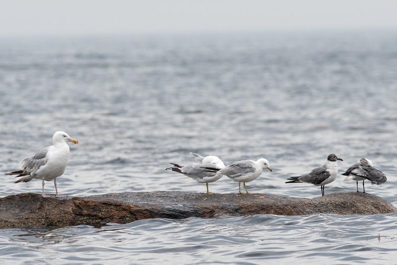 Herring Gull, Ring-billed Gulls, and Laughing Gulls