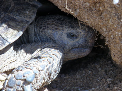 The Desert Tortoise