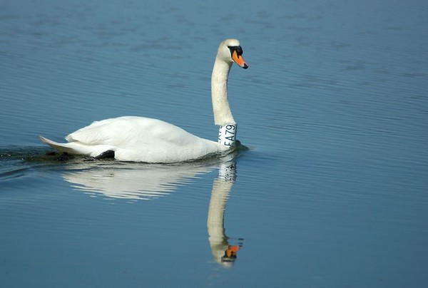 The Swan Collection