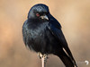 Drongo Close up 2