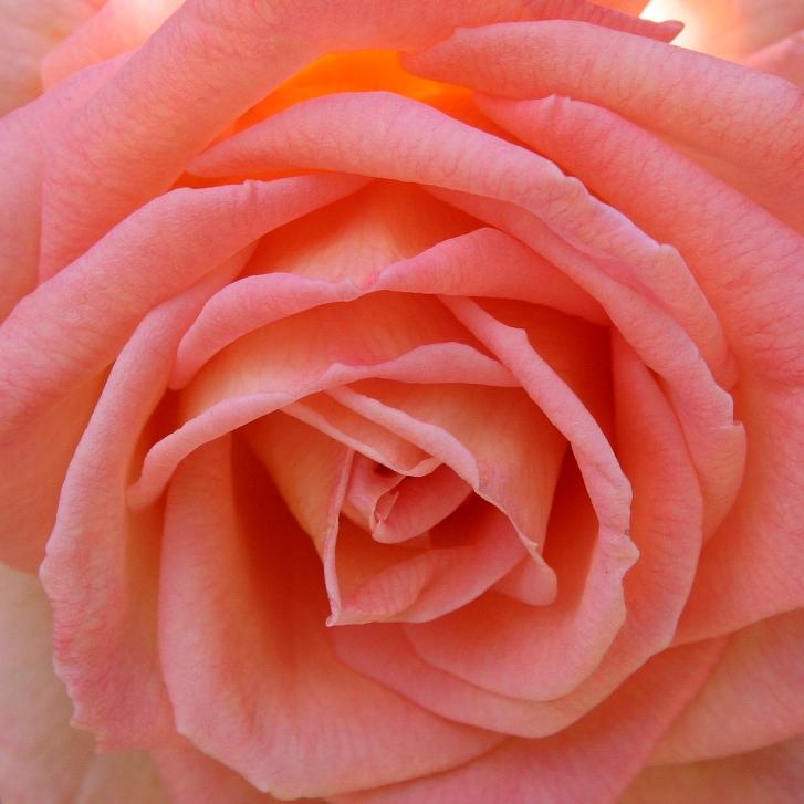 springrose2.jpg