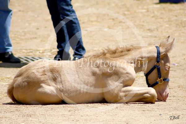 Fiesta of the Spanish Horse 2012