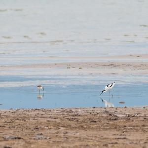 057-02 Recurvirostra avosetta, Skärfläcka, Pied Avocet