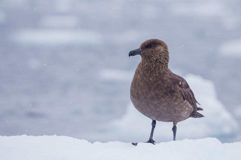 Animals in Antarctica - Brown Skua