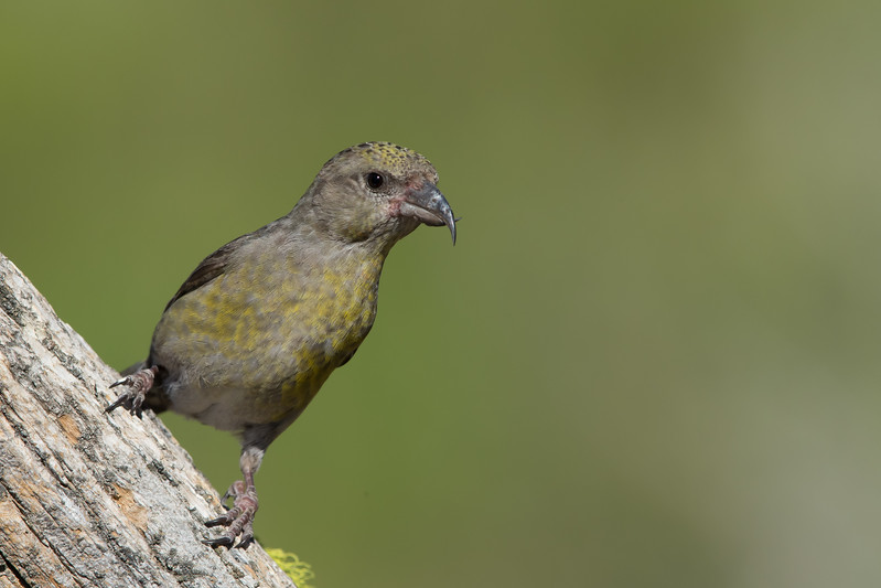 Red Crossbill - Female - OR, USA