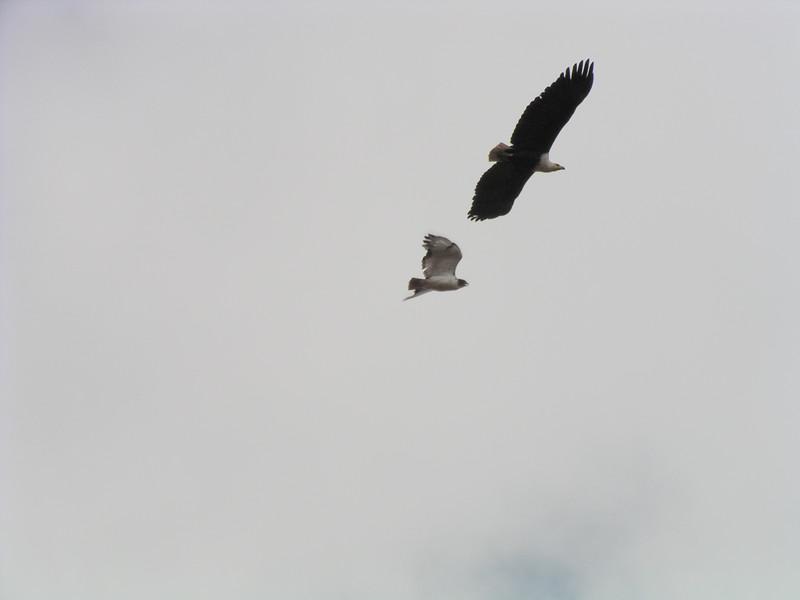 Identify Falcon with Fish Eagle