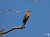 White Fronted Bee-eater 8