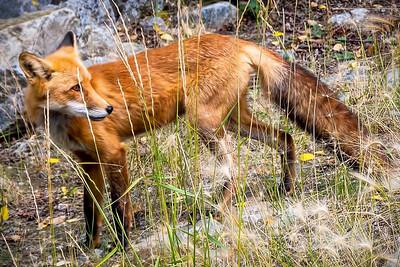 Moose, Elk, Mountain Goats, Fox