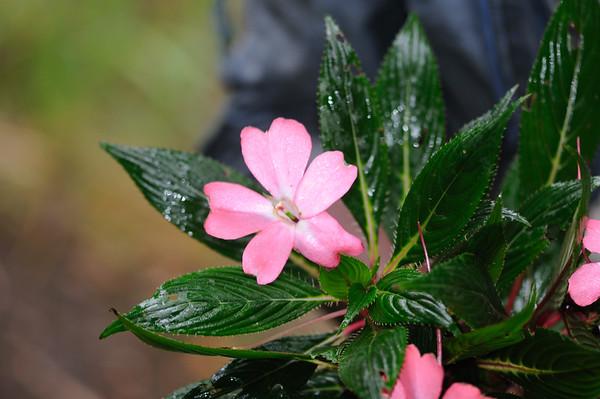 Balsiminaceae