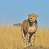 Cheetah on a mound