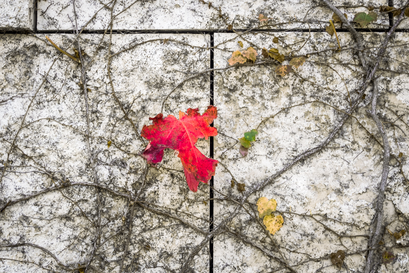 "November 29 - ""Flora flora on the wall.  Which is the reddest leaf left this fall?"".jpg"