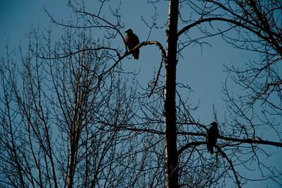 2009 (Jan) Skagit River Bald Eagles (Jan 09)