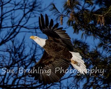 Chippewa Eagles 2018