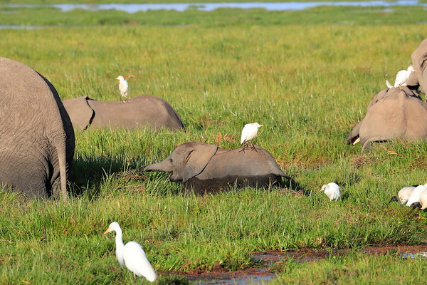 Birds and Elephants Amboseli Kenya 2017