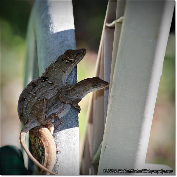 2014-06-06_IMG_0851__Anole Lizard,Clearwater,Fl..JPG