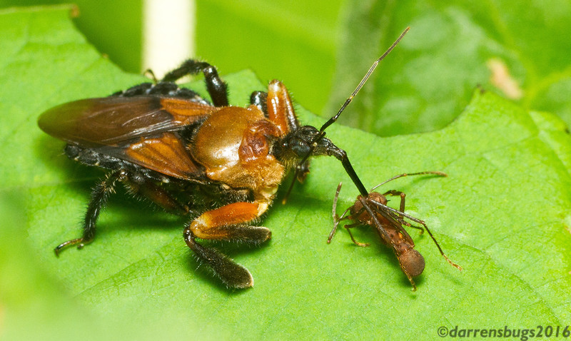 A bee-mimicking assassin bug (Reduviidae) with leaf-cutter ant prey (Atta sp.) in Panama.