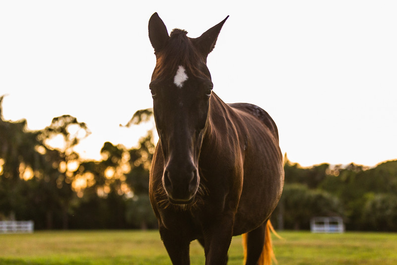 Phoenix at her new home in Loxahatchee Groves, on Friday, November 4, 2016, eight days after her arrival from Equine Rescue and Adoption Foundation Martin County. (Joseph Forzano / Deep Creek Films & Photography)