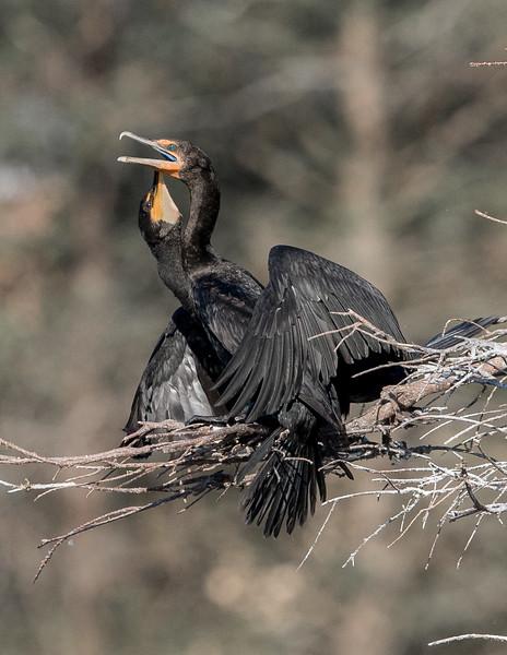 Cormorants Breeding-5564.jpg