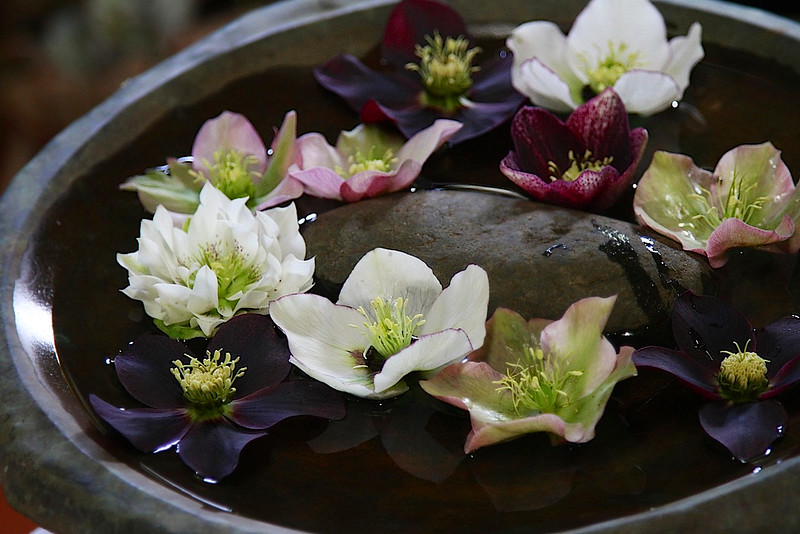 HELLEBORES PICKED IN THE GARDEN. THEY DISPLAY REALLY PRETTY IN A SHALLOW DISH