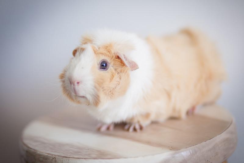 Ginea Pigs-7.jpg