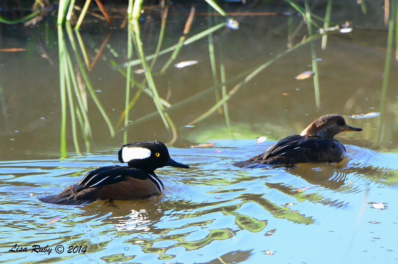 Hooded Merganser Pair - 12/09/2014 - Poway Creek