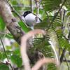 Madagascar Paradise Flycatcher - white morph, male