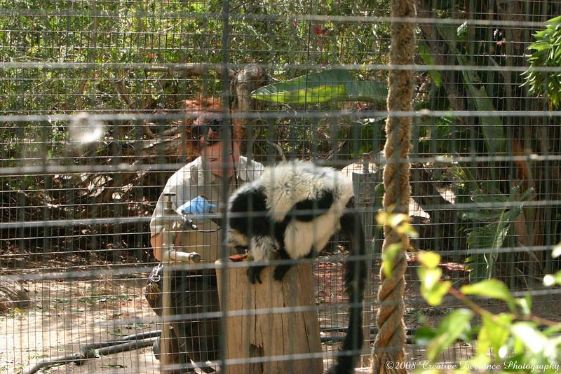 BlackandWhite Ruffed Lemur2.JPG