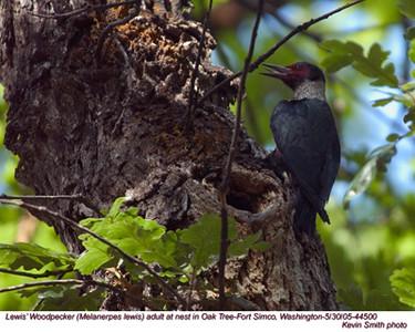 Lewis'WoodpeckerA44500.jpg