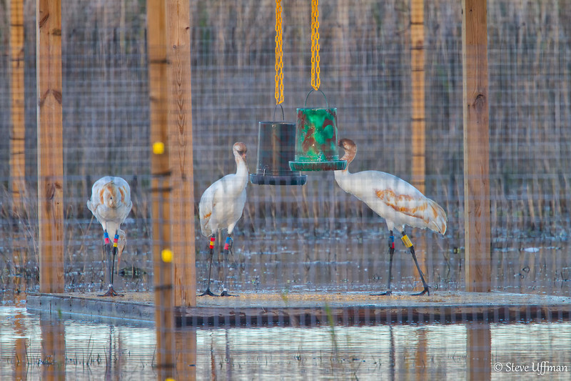 20120207-_MG_2584Whooping_Cranes_White_Lake-Edit.jpg