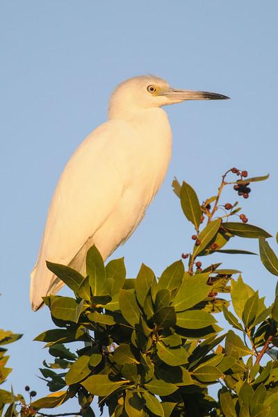 Heron - Little Blue - juvenile - Bailey Tract - Sanibel Island, FL