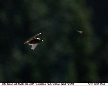 LittleBrownBat26176.jpg