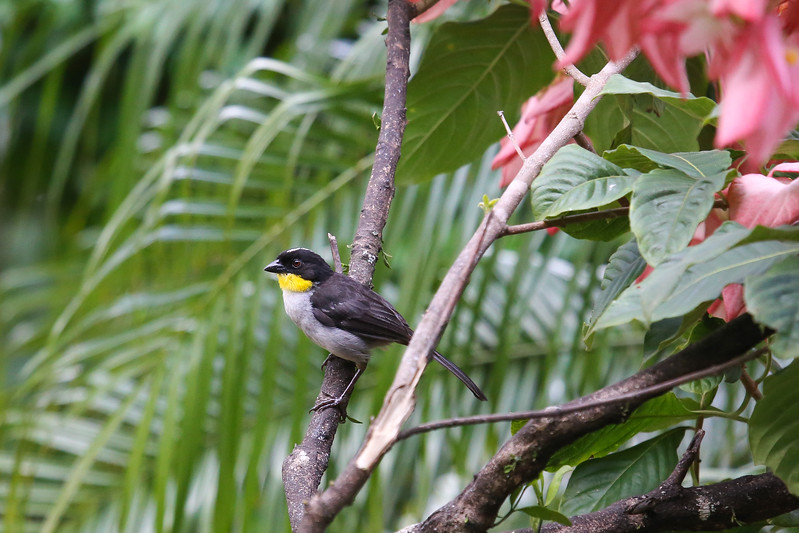 White-naped Brush Finch (Atlapetes albinucha)