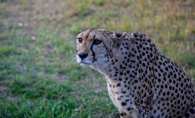 Cheetah - World Fastest Runner