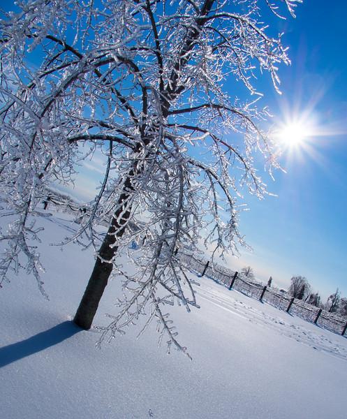ice tree and sunshine PC250255.jpg