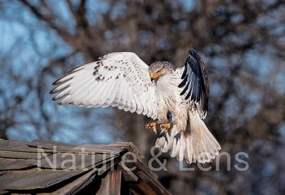 Hawks, Ferruginous Hawks