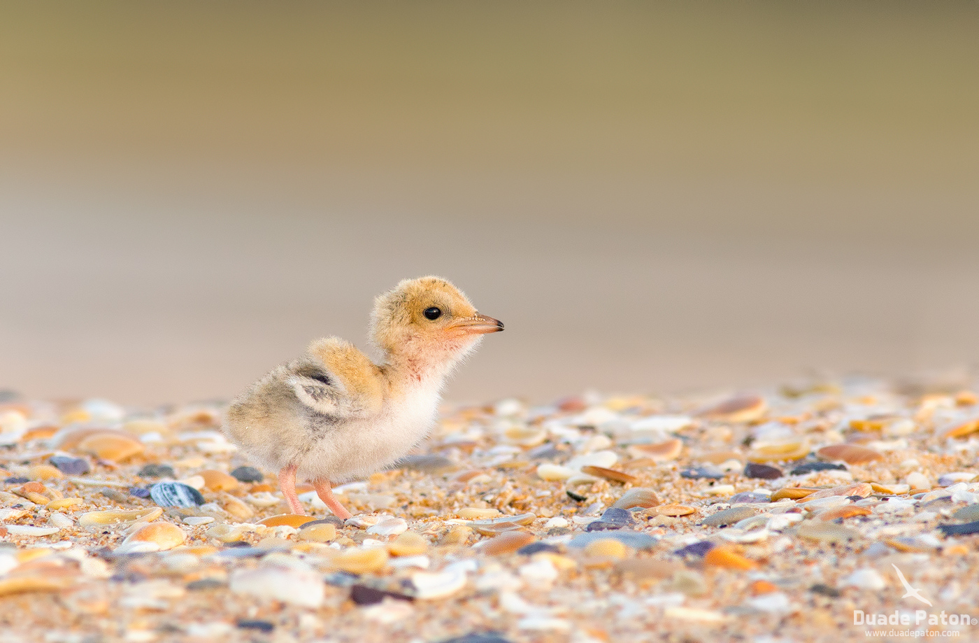Little Tern Chick