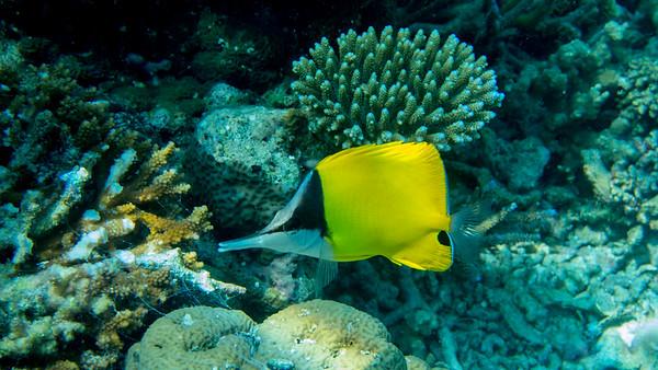 Big Long-nose Butterflyfish, Forcipiger lomgirostris