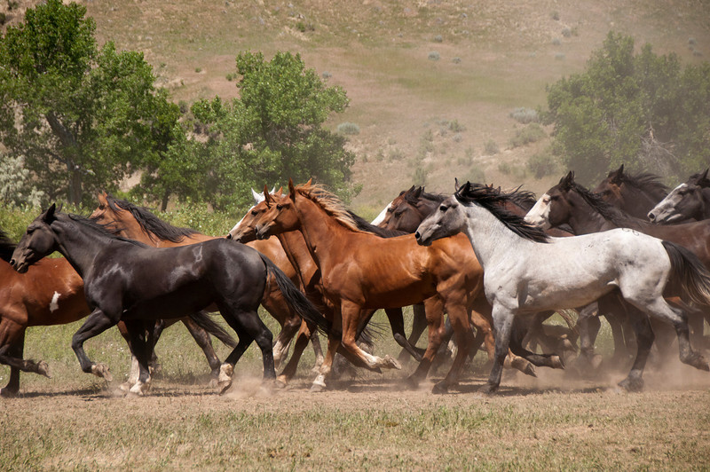 running horsessideviewBattleLittleBig Horn2010DSC_1623.jpg