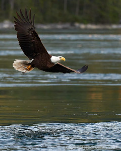 Bald Eagle flexes it's wings returning from a successful hunt