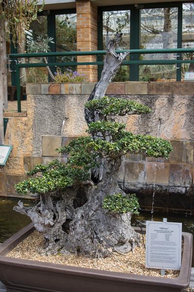 150 year old olive bonsai