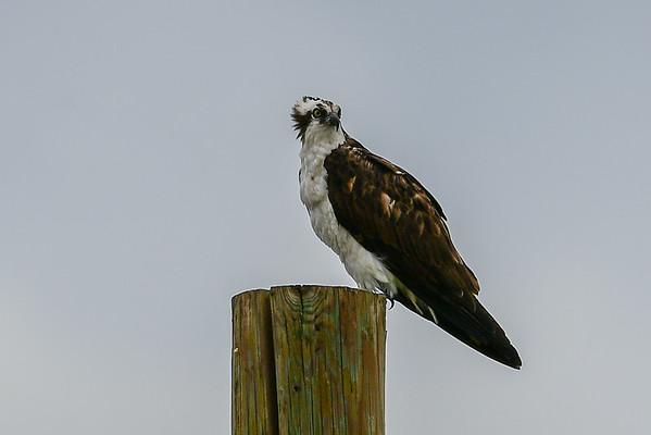 7-23-16 *^Osprey Family