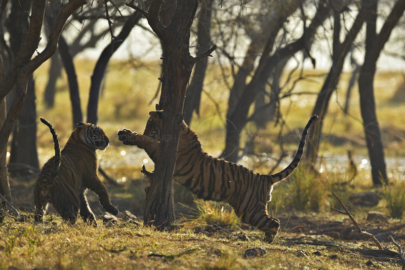 Backlit tiger cubs playing