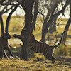 Backlit tiger cubs playing