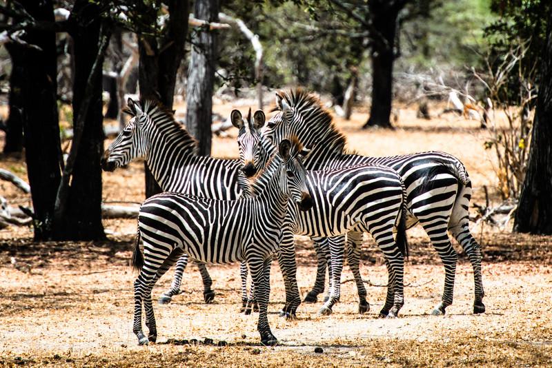 Zebra, Selous Reserve