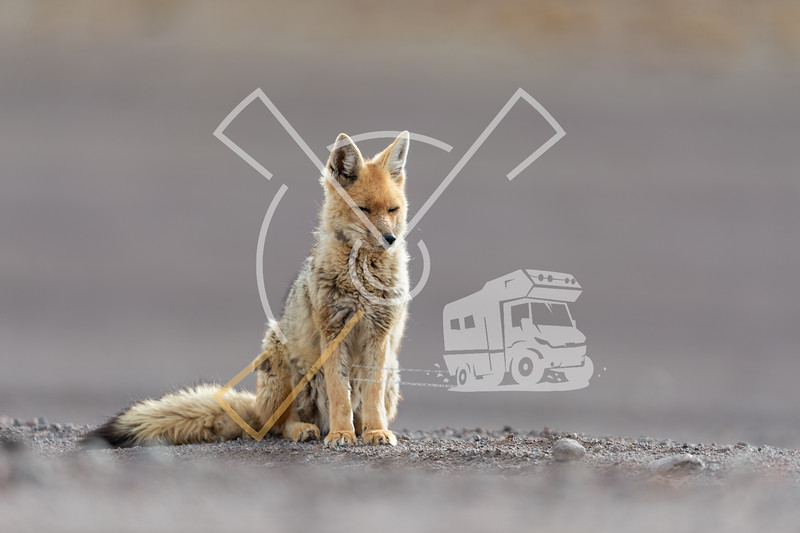 Portrait of resting culpeo (Lycalopex culpaeus) or Andean fox, at the Siloli desert in Eduardo Avaroa Andean Fauna National Reserve
