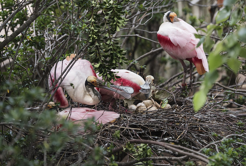 Roseate spoonbills nest at the Caldwell Zoo in Tyler Tuesday May 23, 2017.  (Sarah A. Miller/Tyler Morning Telegraph)