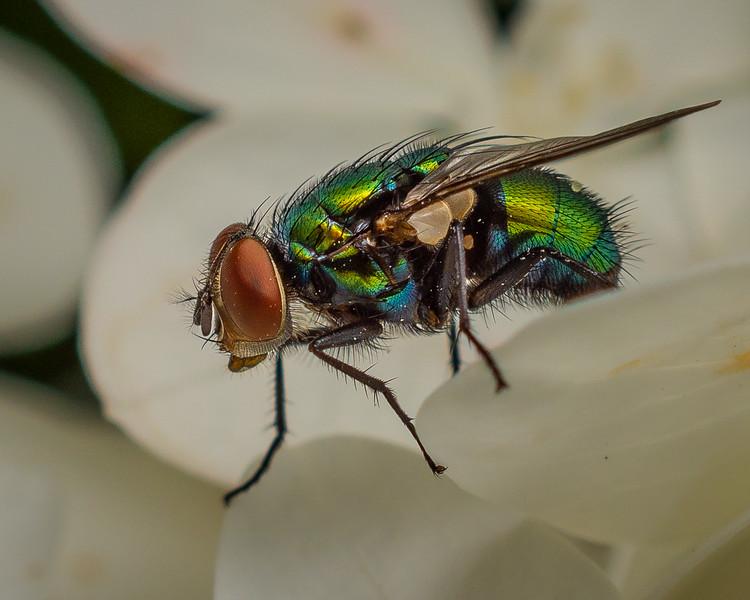 Common Green Bottle Fly - 1 --7-25-18.jpg