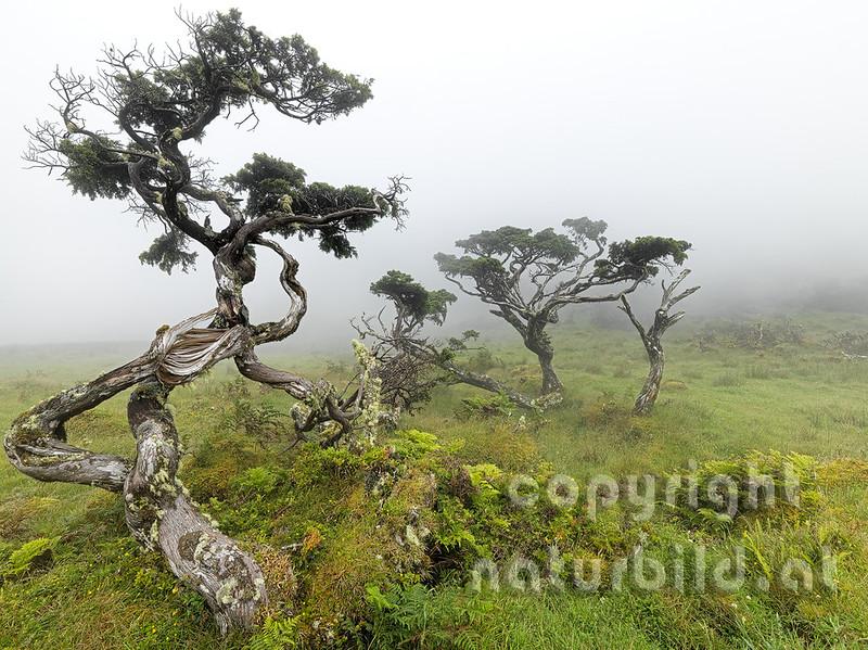 Wacholdererbäume, knorriger Wuchs, Insel Pico, Azoren, Portugal,