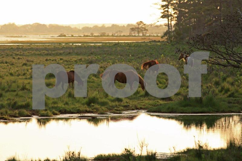 Chincoteague National Wildlife Refuge, Assategue Island, wild horses